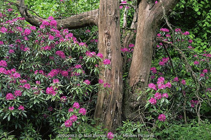 Naturalised rhododendeon (Rhododendron ponticum) in woodland, Scotland  -  Niall Benvie/ npl
