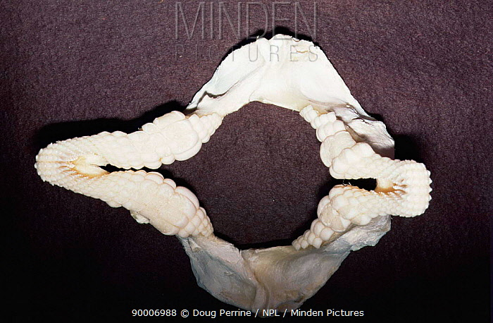 Horn Minden minden pictures stock photos horn shark heterodontus francisci