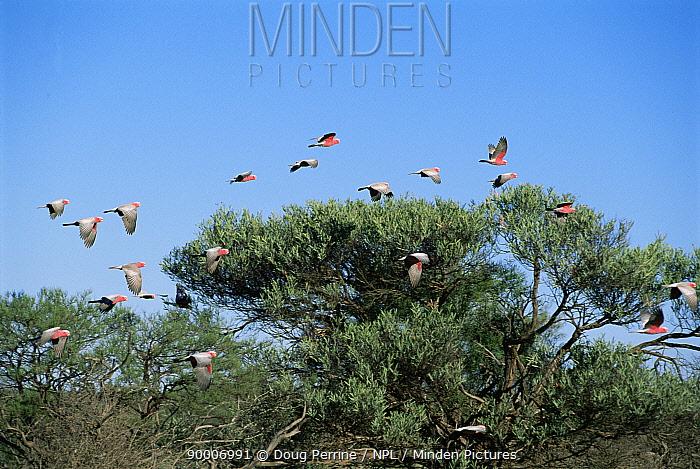 Galah cockatoos, parakeets flying (Eolophus, Cacatua roseicapilla) W Australia  -  Doug Perrine/ npl