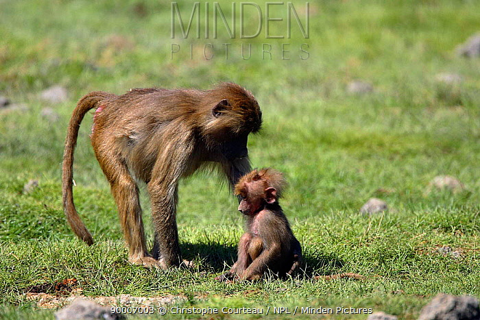 Hamadryas Baboon (Papio hamadryas) female with infant, Awash National Park, Ethiopia  -  Christophe Courteau/ npl