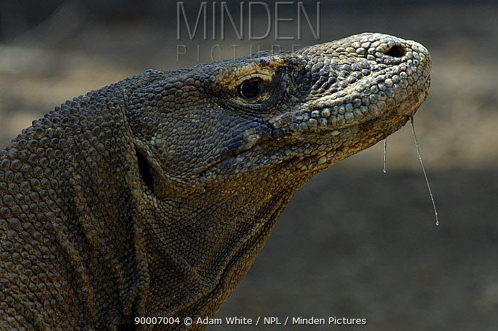 Komodo Dragon (Varanus komodoensis) with saliva, head profile, Komodo Island, Indonesia  -  Adam White/ npl