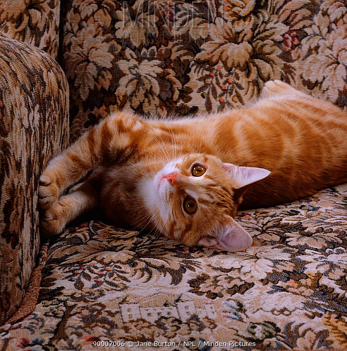Domestic Cat (Felis catus) young ginger 'Sparky' stretching in armchair  -  Jane Burton/ npl