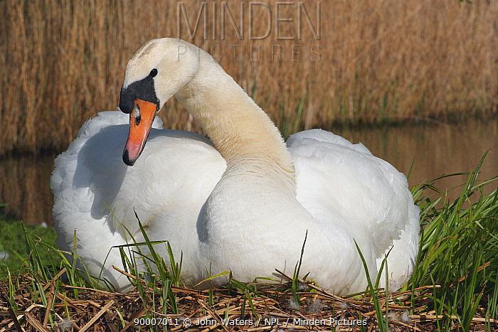 Mute Swan (Cygnus olor) female on nest, Somerset, United Kingdom  -  John Waters/ npl