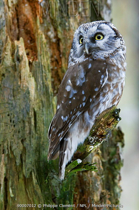 Boreal Owl (Aegolius funereus) perching in tree, captive, Bavarian Forest, Germany  -  Philippe Clement/ npl