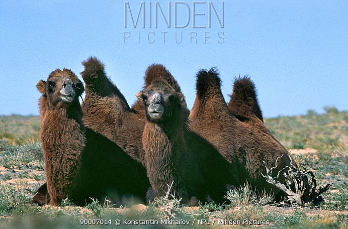 Bactrian Camel (Camelus bactrianus) domestic animals Gobi Desert, Mongolia  -  Konstantin Mikhailov/ npl