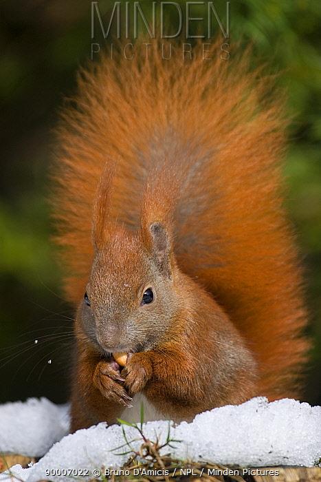 Eurasian Red Squirrel (Sciurus vulgaris) eating nut in winter Germany  -  Bruno D'amicis/ npl