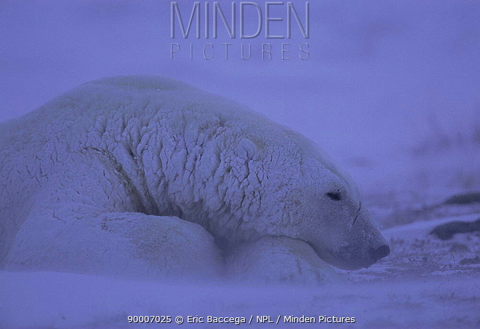 Polar Bear (Ursus maritimus) resting in blizzard, Churchill, Manitoba, Canada  -  Eric Baccega/ npl