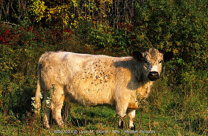 Galloway Cow (Bos taurus), Connecticut, USA  -  Lynn M. Stone/ npl