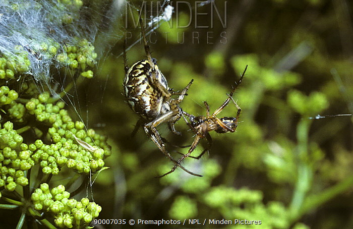 Bordered orb weaver spider (Neoscona, Araneus adiantus) female (left) being courted by a male (right) on her web, UK  -  Premaphotos/ npl