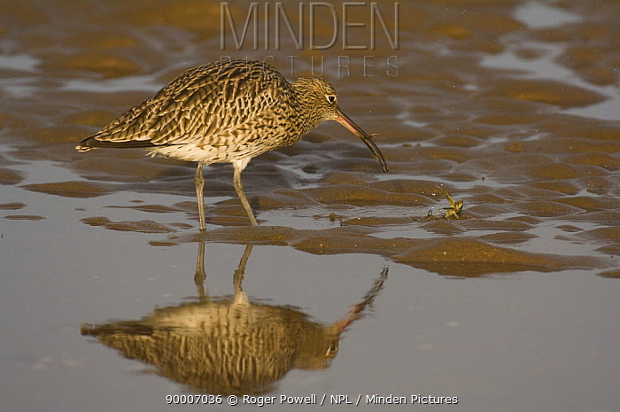 Eurasian Curlew (Numenius arquata) catching crab at low tide, removing legs by shaking hard before feeding on body, note claw left in beak and body on ground, Lindisfarne Is, Northumberland, United Kingdom sequence 6, 7  -  Roger Powell/ npl