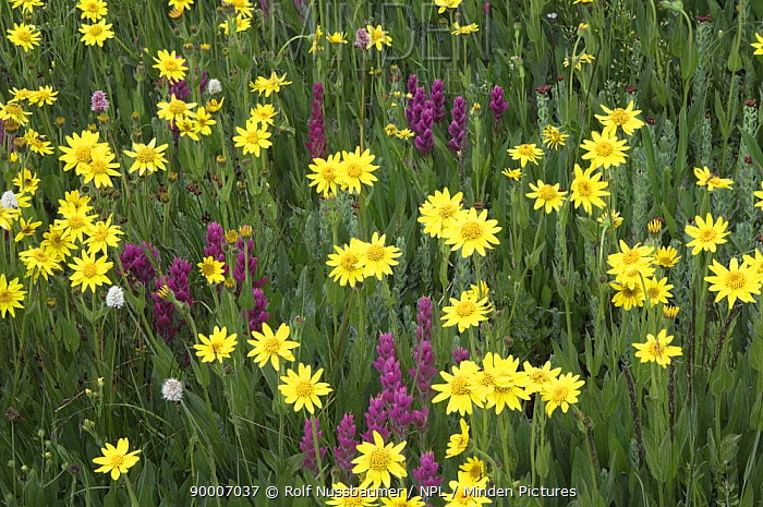 Wildflowers in alpine meadow, Heartleaf Arnica (Arnica cordifolia), Indian Paintbrush (Castilleja sp) and Bistort (Persicaria sp), Ouray, San Juan Mountains, Rocky Mountains, Colorado, USA, July 2007  -  Rolf Nussbaumer/ npl