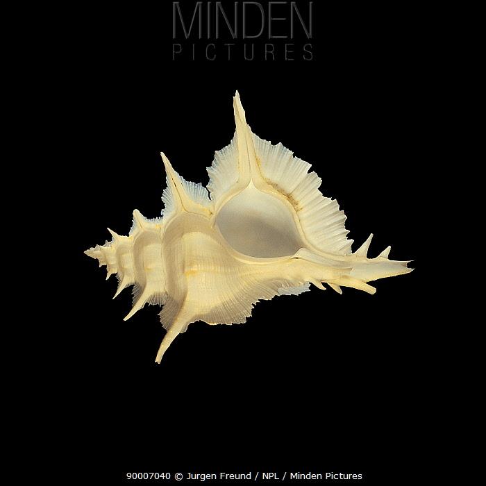 Alabaster Murex (Murex alabaster) shell  -  Jurgen Freund/ npl