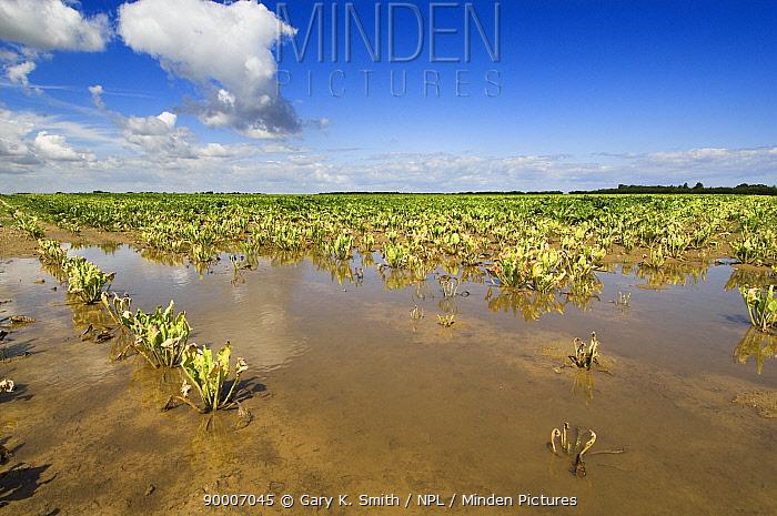 Sugar beet (Beta vulgaris) crop dying due to water saturation caused by high rainfall, Norfolk, England, UK, Summer 2007  -  Gary K. Smith/ npl