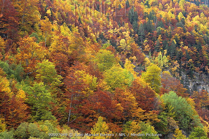 Autumn woodland in Ordesa y Monte Perdido National Park, Huesca, Spain  -  Juan Manuel Borrero/ npl
