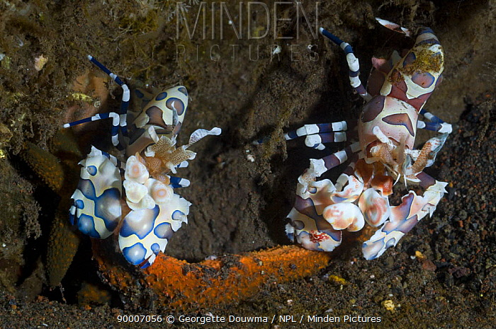 Harlequin shrimp (Hymenocera elegans), pair feeding on starfish prey Bali, Indonesia  -  Georgette Douwma/ npl