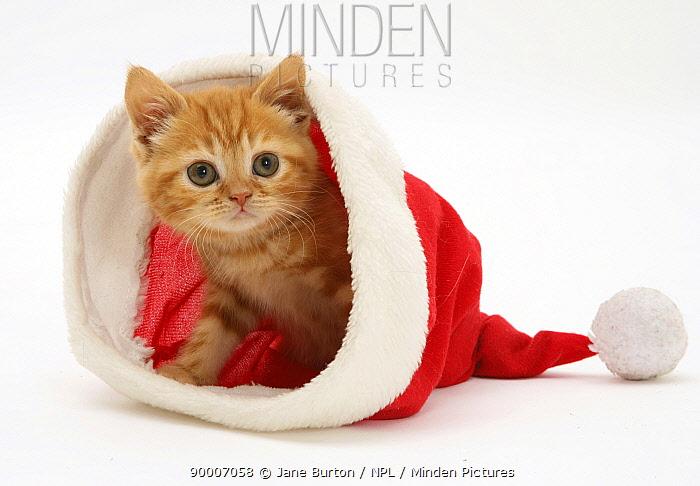 Domestic Cat (Felis catus)Red tabby kitten in a Father Christmas hat  -  Jane Burton/ npl
