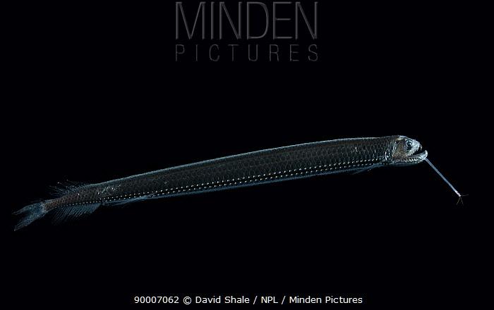 Scaly dragonfish (Stomias boa), from the Mid-Atlantic Ridge, depth 75-0m  -  David Shale/ npl