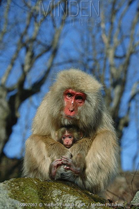 Japanese Macaque (Macaca fuscata) mother with two-year-old male baby, Jigokudani, Nagano, Japan  -  Yukihiro Fukuda/ npl