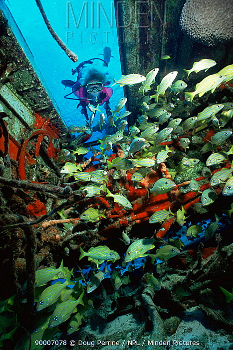 Diver and Grunts in airplane wreck, Cozumel, Mexico  -  Doug Perrine/ npl