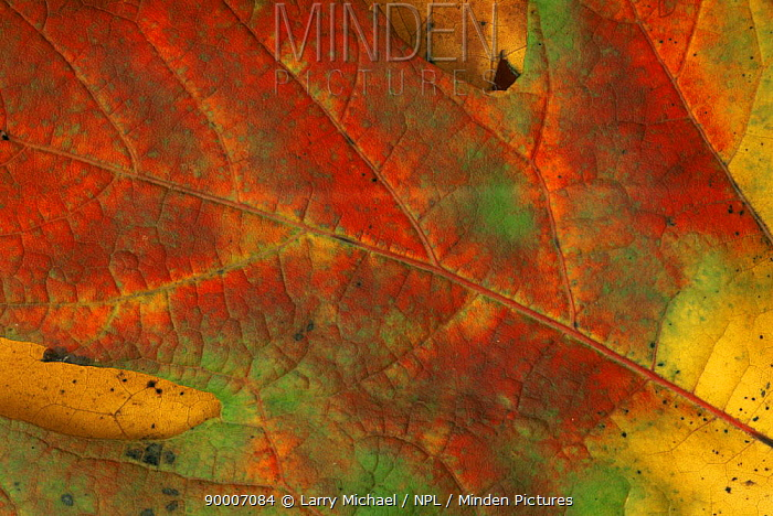 Close-up of autumn leaf changing colour, USA  -  Larry Michael/ npl