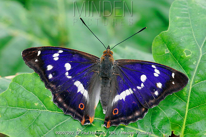 Purple Emperor (Apatura iris) male with wings open on Oak (Quercus sp) leaves, southern England, United Kingdom  -  Paul Hobson/ npl