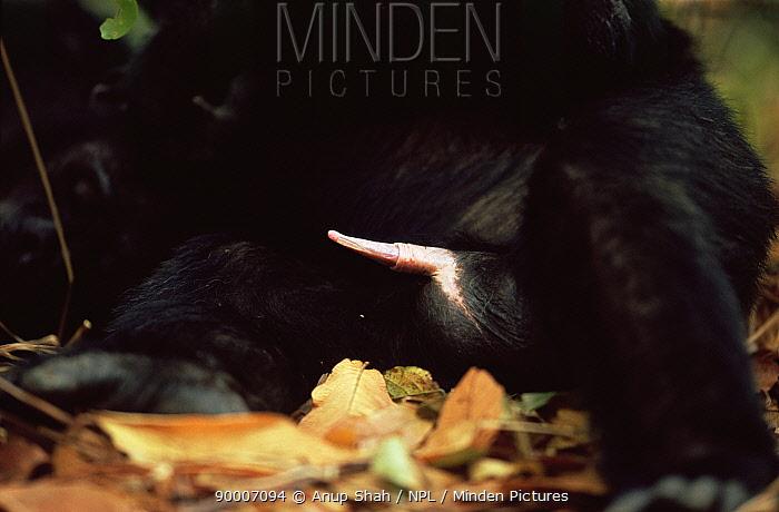 Eastern Chimpanzee (Pan troglodytes schweinfurthii) close-up of erect penis, Mahale National Park, Tanzania  -  Anup Shah/ npl