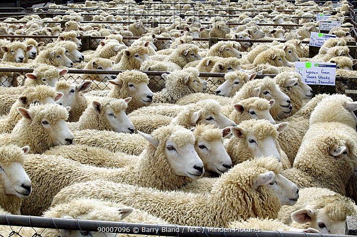 Sheep at Sheep Auction, Balclutha, New Zealand  -  Barry Bland/ npl