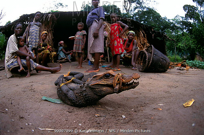 Nile Crocodile (Crocodylus niloticus) young with legs and snout bound, for sale as bushmeat, Central Africa Crocodiles are transported alive, often for weeks without food or water, and sold fresh in urban markets  -  Karl Ammann/ npl