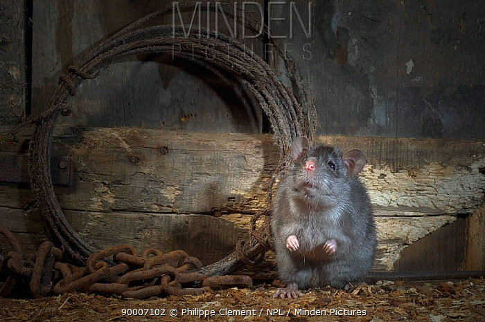 Black Rat (Rattus rattus) in old barn at night, Belgium  -  Philippe Clement/ npl