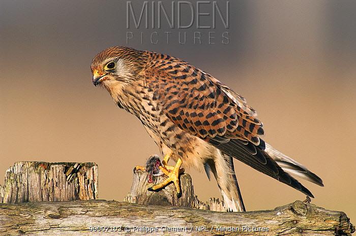 Eurasian Kestrel (Falco tinnunculus) feeding on Wood mouse prey, Belgium  -  Philippe Clement/ npl