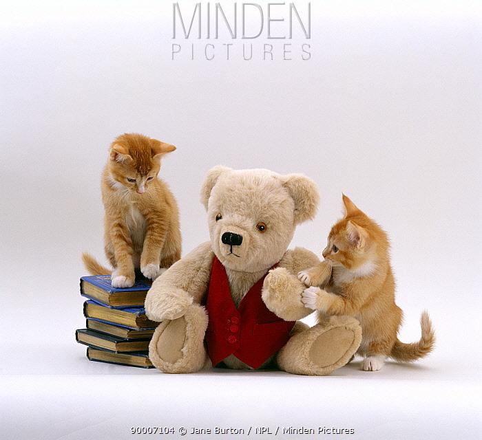 Domestic Cat (Felis catus) Two red burmese-cross kittens with teddy bear  -  Jane Burton/ npl