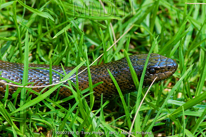 Mole snake (Pseudaspis cana) in grass, Western Cape, South Africa  -  Tony Phelps/ npl