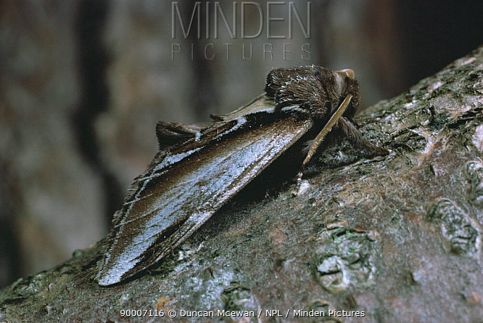 Lesser Swallow Prominent (Pheosia gnoma) Scotland United Kingdom  -  Duncan McEwan/ npl