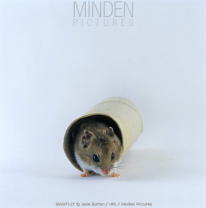 Chinese Hamster (Cricetulus barabensis) coming out of a cardboard tube  -  Jane Burton/ npl