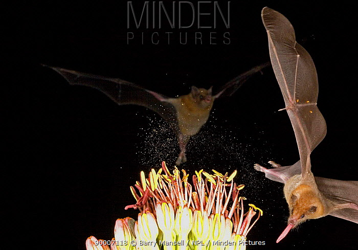 Southern Long-nosed Bat (Leptonycteris curasoae) feeding on nectar and spraying pollen in the air, Chiricahua Mts, Arizona Threatened Species in Arizona  -  Barry Mansell/ npl