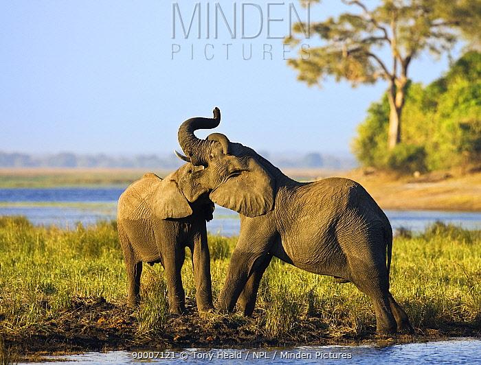 African Elephant (Loxodonta africana) pair play fighting, Chobe National Park, Botswana  -  Sharon Heald/ npl