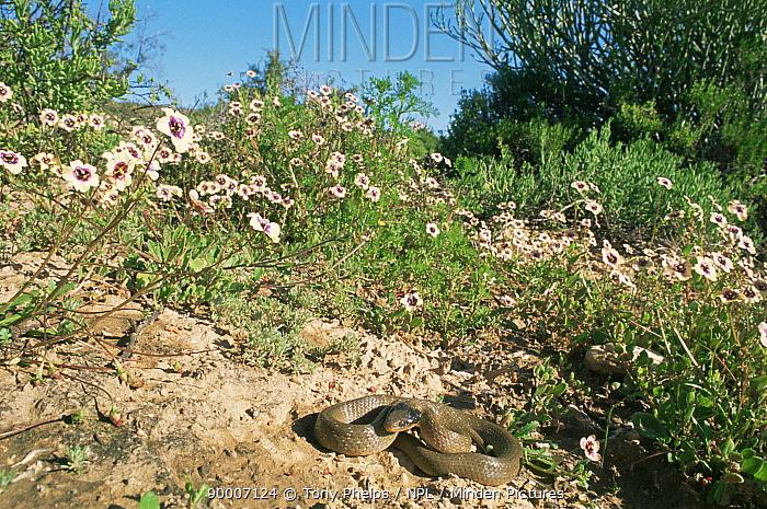 Herald snake (Crotaphopeltis hotamboeia) basking in habitat, Little Karoo, South Africa  -  Tony Phelps/ npl
