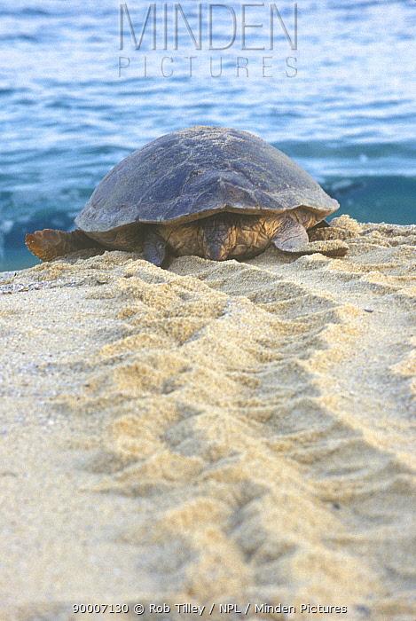 Loggerhead Sea Turtle (Caretta caretta) making tracks towards the sea, Yakushima, Nagata, Japan  -  Rob Tilley/ npl