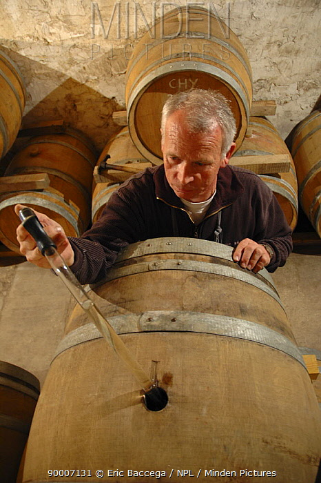 Francis Boyer testinghis champagne in oak barrels, Chouilly, C?te de Blancs vineyard, Champagne country, France  -  Eric Baccega/ npl