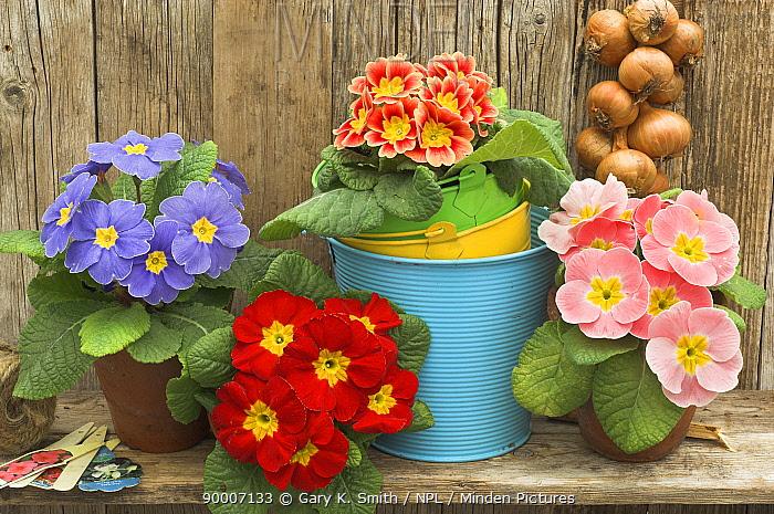 Garden Primula plants (Primula polyanthus) still life in rustic garden shelf setting  -  Gary K. Smith/ npl