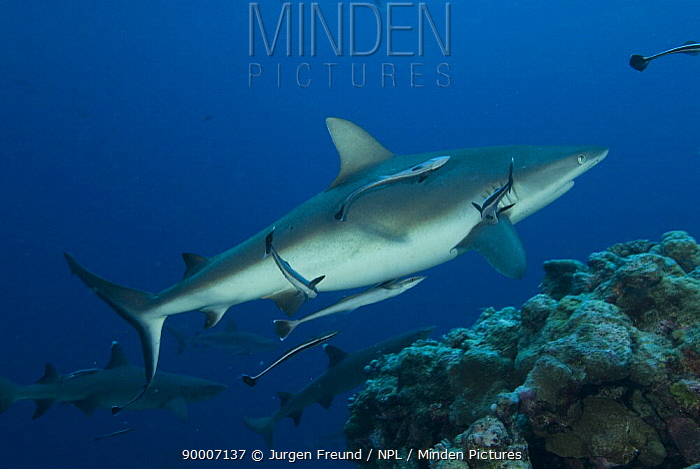 Grey Reef Shark (Carcharhinus amblyrhynchos) at North Horn, Queensland, Australia  -  Jurgen Freund/ npl