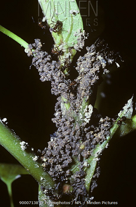 Ant (Formicidae) Ants building shelters of mud and tiny stones as protection for 'herds' of Treehopper bugs (Membracidae) that they will 'milk' for their honeydew, rainforest, Thailand  -  Premaphotos/ npl