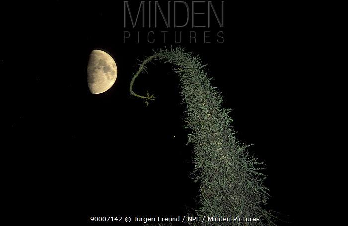 Cirio tree and half moon, Catavina desert, Baja California, Mexico  -  Jurgen Freund/ npl