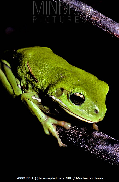 White's Tree Frog (Litoria caerulea) on branches at night, Australia  -  Premaphotos/ npl