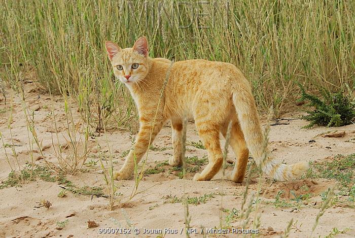 African wild cat (Felis sykvestris libyca), Kgalagadi Transfrontier Park, Kalahari desert, South Africa  -  Jouan & Rius/ npl