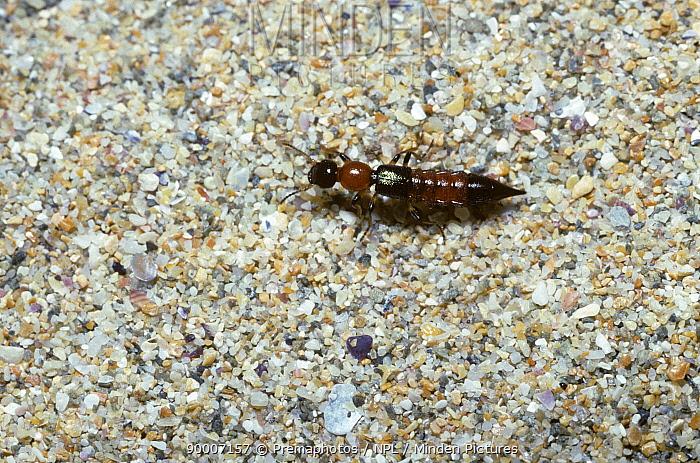 Rove beetle (Paederus litoralis) on sand, UK  -  Premaphotos/ npl