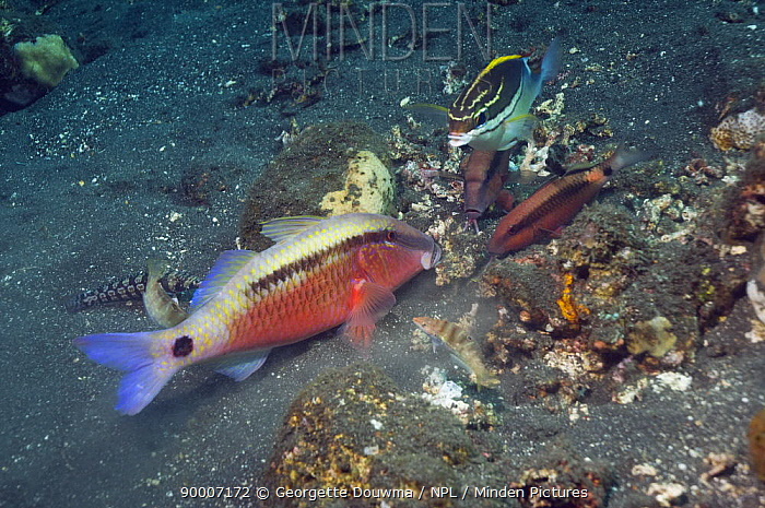 Dash-and-dot goatfish (Parupeneus barberinus) grubbing in sand for prey, closely watched by Longbarbel goatfish (Parupeneus macronema) and a Twoline spinecheek (Scolopsis bilineatus) hoping to catch escaping prey, Bali, Indonesia  -  Georgette Douwma/ npl