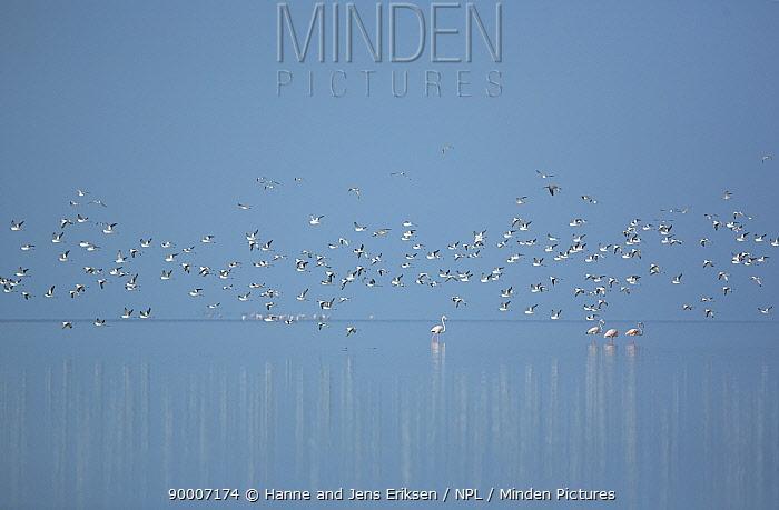 Crab plovers (Dromas ardeola) flock in flight over flamingos with reflections in water, Barr Al Hikman, Oman  -  Hanne & Jens Eriksen/ npl