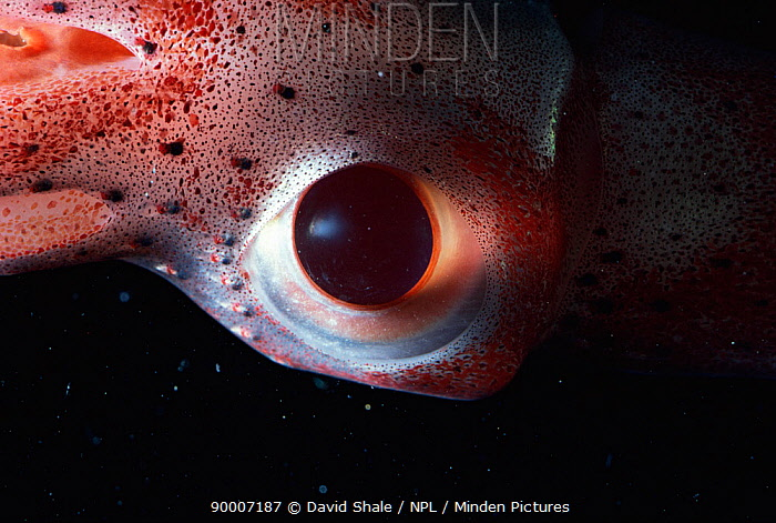 Squid (Histioteuthis sp) eye Atlantic ocean  -  David Shale/ npl