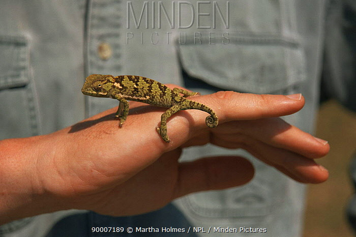 Chameleon (Chamaeleonidae family) on hand, Zambia  -  Martha Holmes/ npl